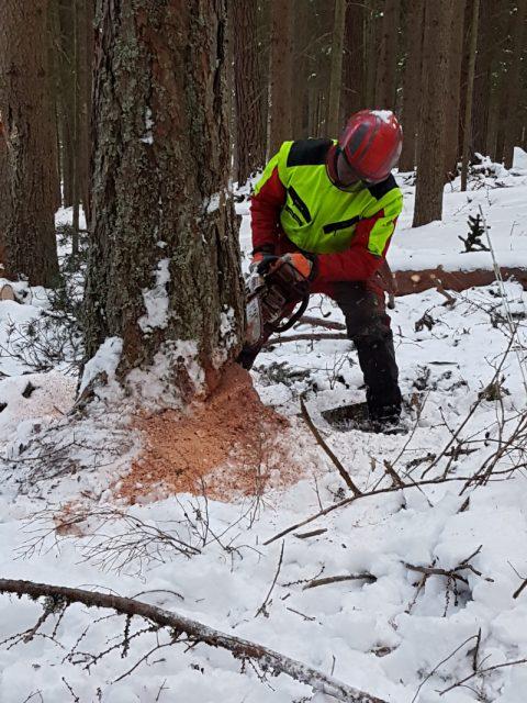 Mann in Schutzkleidung schneidet mit einer Motorsäge in einen Baum.