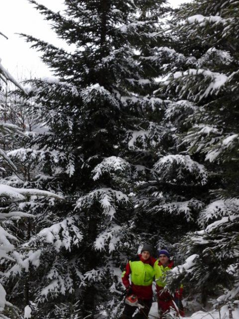 Farbphoto, zwei Forstfacharbeiter vor Weißtanne, Christbäume