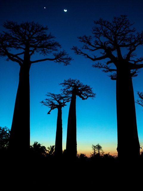 Farbphotographie. Pascal Maître: Baobab. Pressebild zur Ausstellung im Naturhistorischen Museum Wien