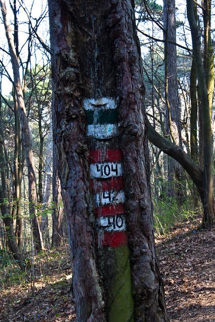 Farbphoto, Stamm einer Foehre mit Markierungen und Schlitzen von der Pecherei