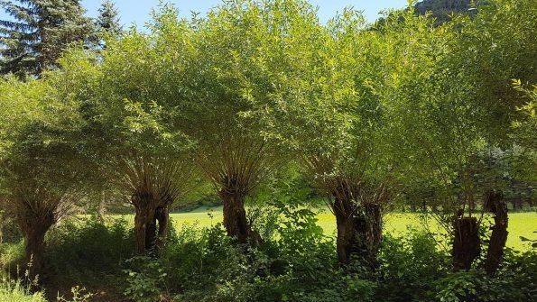 Farbphoto Kopfweiden Schneiteln geschneitelte Baeume Kopfbäume Weiden