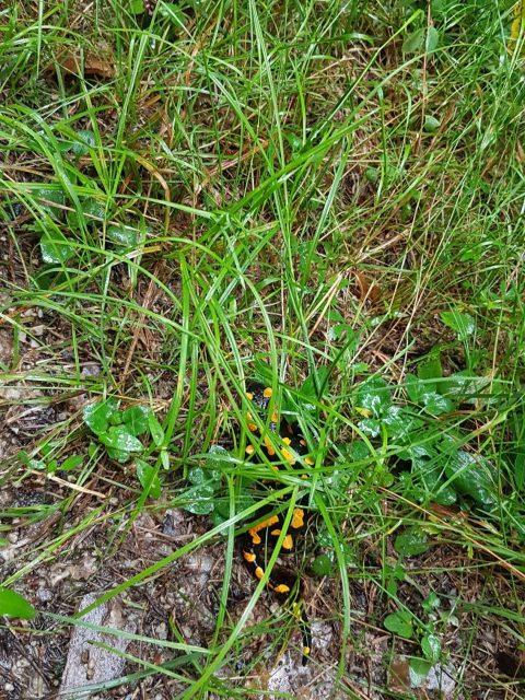Feuersalamander im Gras - Ramplach