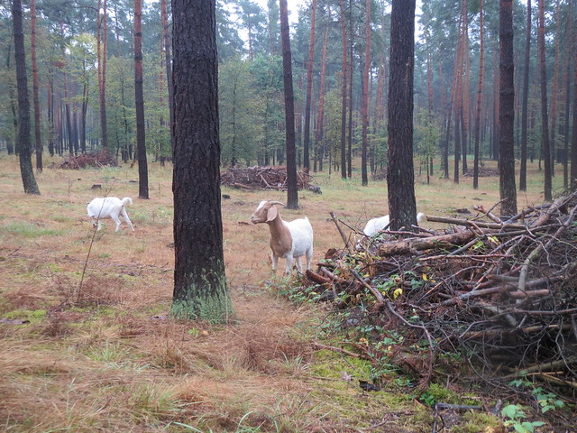 Farbphoto: Ziegen auf der Waldweide, die naschhaften Waldverderber
